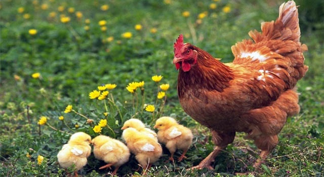 Mơ thấy gà, giải mã giấc mơ thấy gà