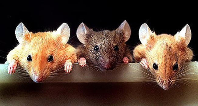 Nằm mơ thấy chuột là điềm báo gì