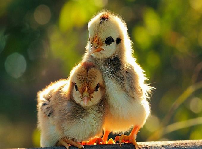 Mơ thấy gà dự báo điềm gì, gợi ý con số may mắn nào?