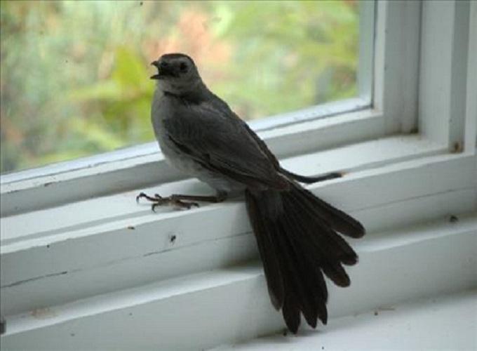 Chim bay vào nhà là điềm báo gì