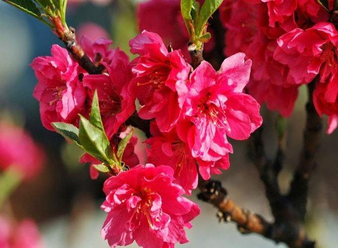 ý nghĩa của những loại hoa nhất định phải có trong ngày tết