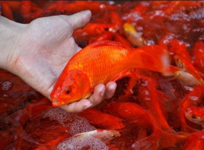 Mơ thấy bắt cá là điềm báo gì, giải mã giấc mơ bắt cá