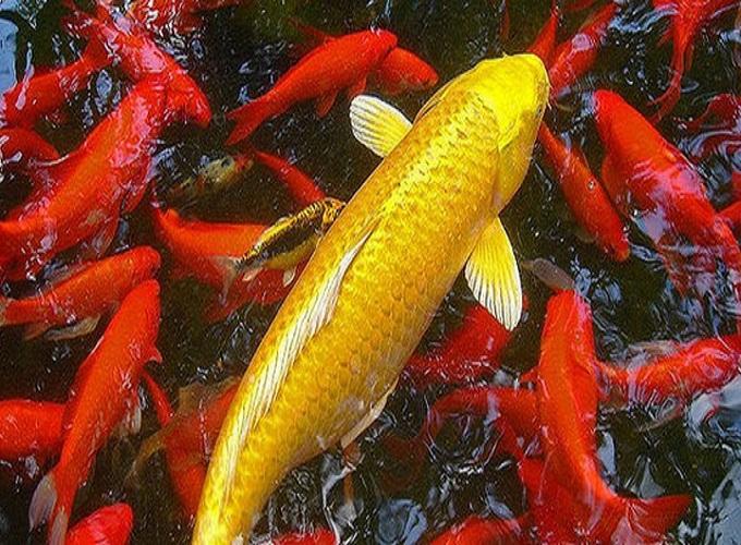 Mơ thấy cá chép là gì, những con số liên quan