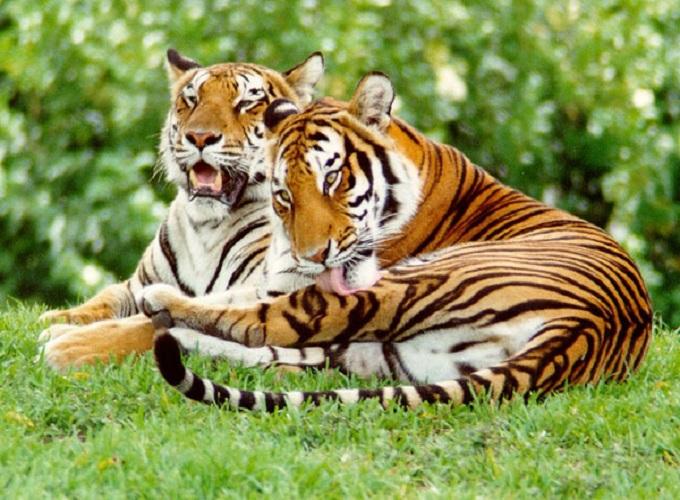 Mơ thấy hổ là điềm báo gì? giải mã giấc mơ thấy hổ