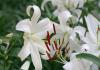 Những loại hoa dùng đi tảo mộ Tiết Thanh Minh