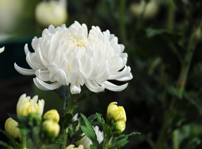 Đi tảo mộ tiết Thanh Minh nên chọn những loại hoa nào?