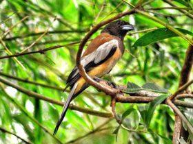 Chim khách kêu- Chim khách kêu là điềm báo gì?